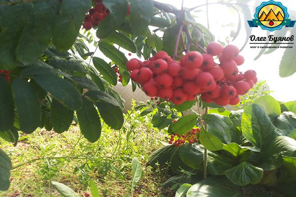 плоды рябинки красной