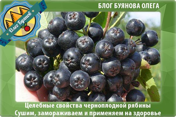 лечебные плоды рябины