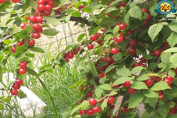 красивая красная ягодка