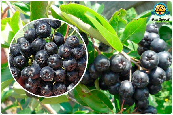 чёрные ягодки рябины
