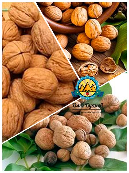 перегородки и плоды ореха грецкого