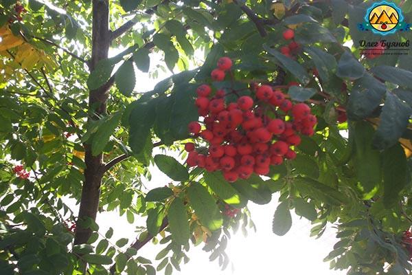гроздь ягод рябинки