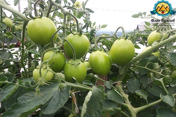 зелёные здоровые томаты