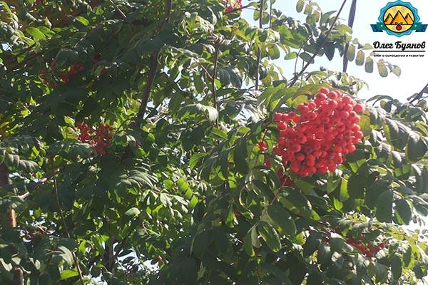 листья и дерево рябины