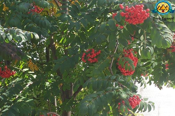 дерево рябина и плоды