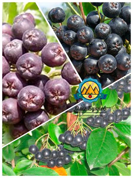 плоды чёрной ягоды