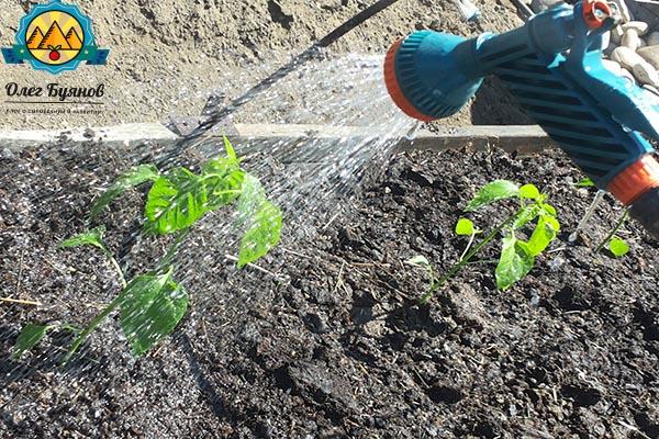 поливая посаженное растение