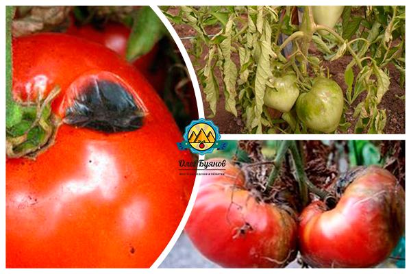 признаки фитофторы помидор