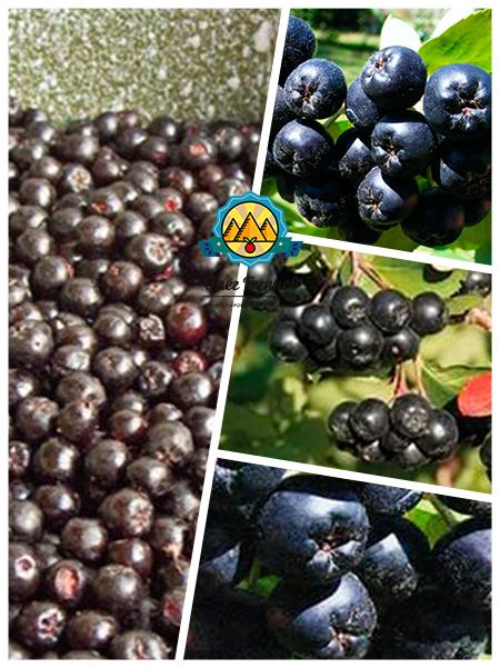целебные ягоды черной рябины