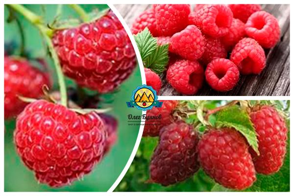 гроздья ягоды красной малины