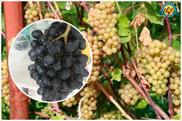 как растёт виноград
