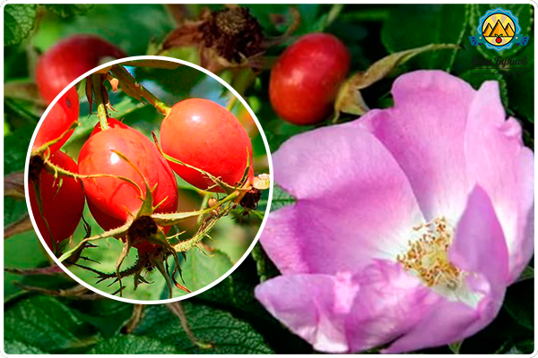 ягода красного шиповника