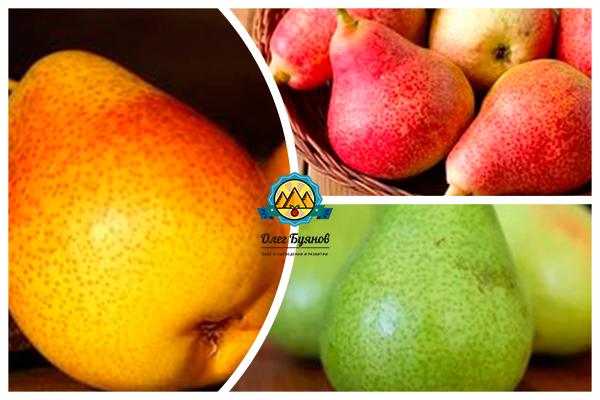 плоды груши разноцветные
