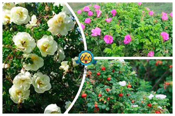 белый шиповник цветёт