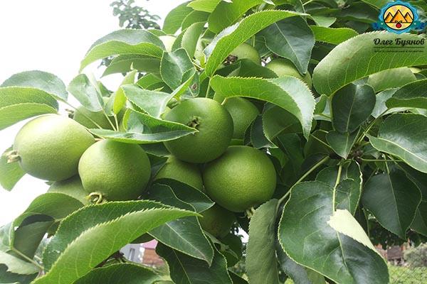 листья и плоды груши на ветке