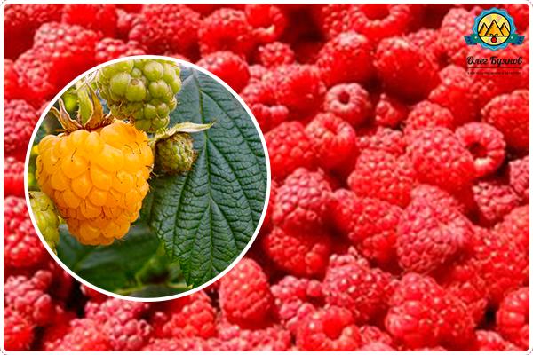 ягода малина красная