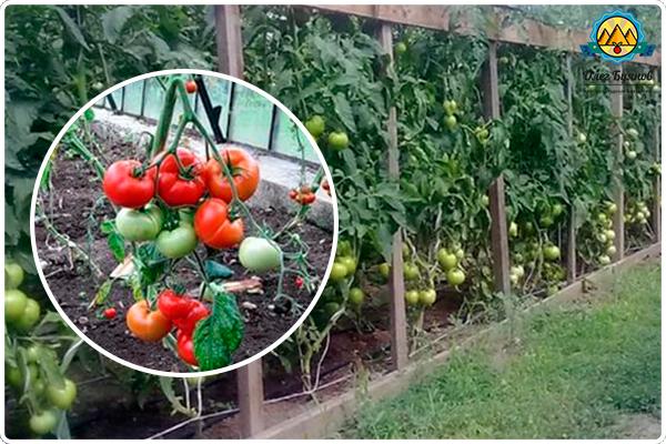 красные томаты в теплице
