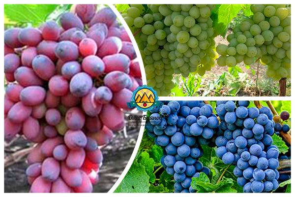 синий и красный виноград