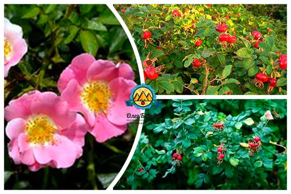 плоды и цветение куста шиповника