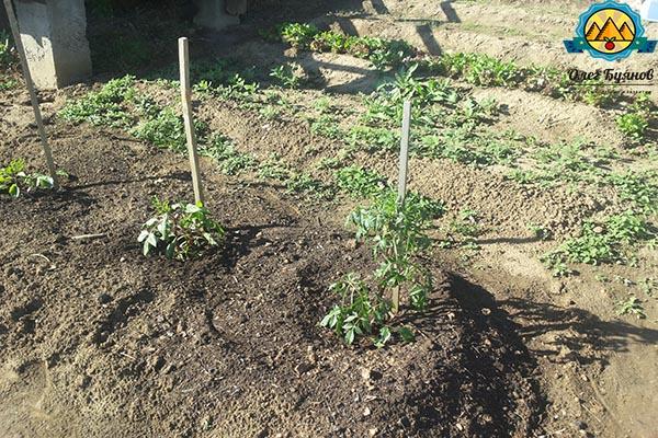 высаженные томаты на грядке