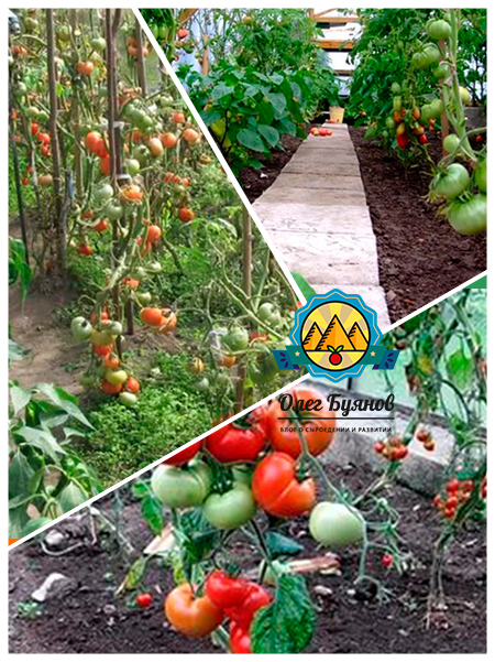 красные зрелые томаты