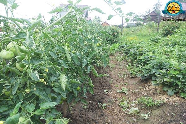 посаженные кусты томатов