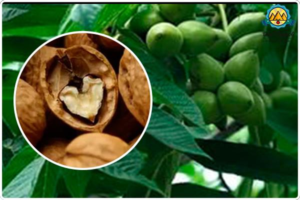 как растёт грецкий орех
