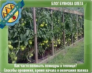 томаты растут в теплице