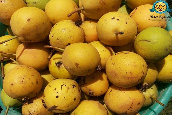 урожай жёлтой груши на даче