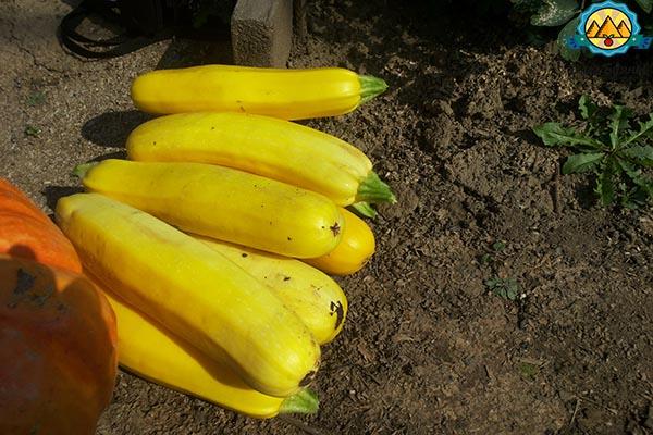 жёлтый плод кабачка
