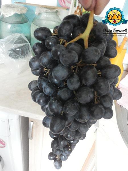гроздь чёрного винограда