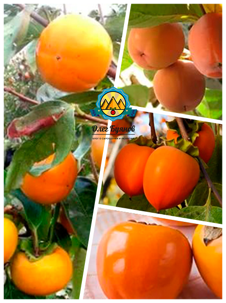 красочные плоды хурмы