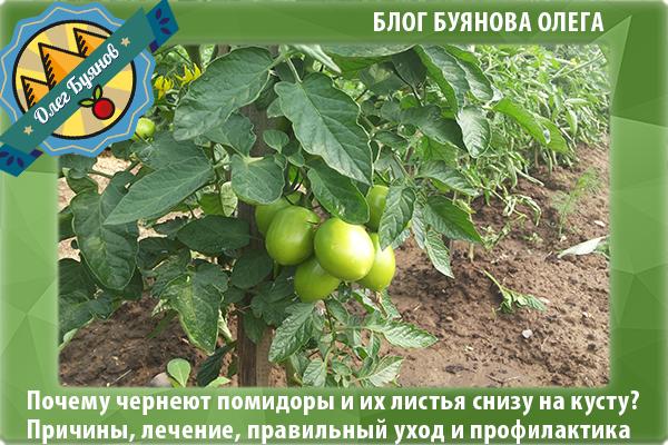 зелёные томаты