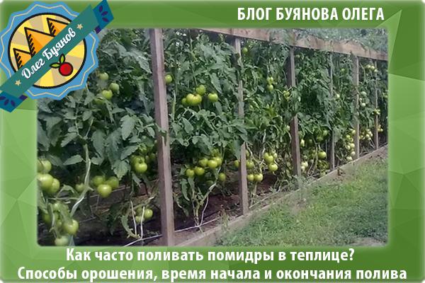 зелёные томаты в теплице