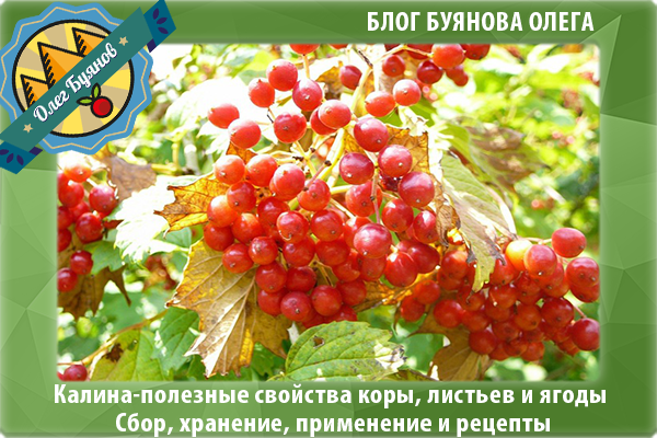 красные ягоды калины