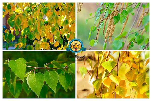берёзовая листва