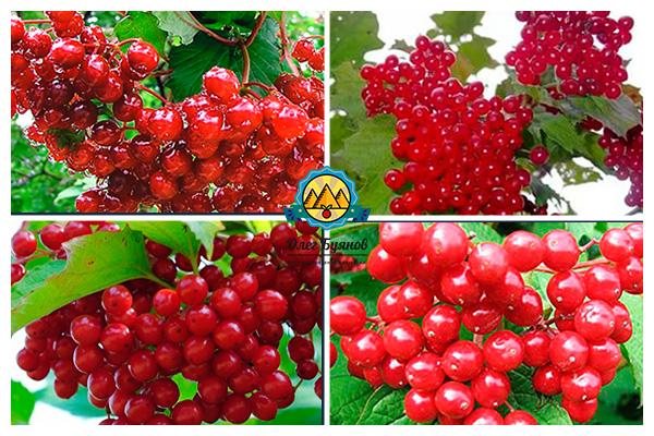 гроздь красной ягоды
