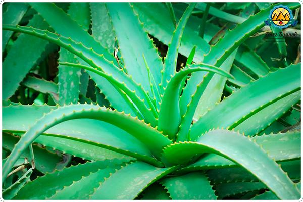 алоэ растение