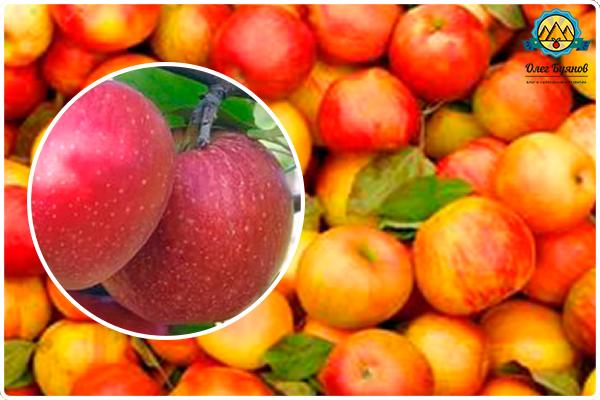 плоды яблочные