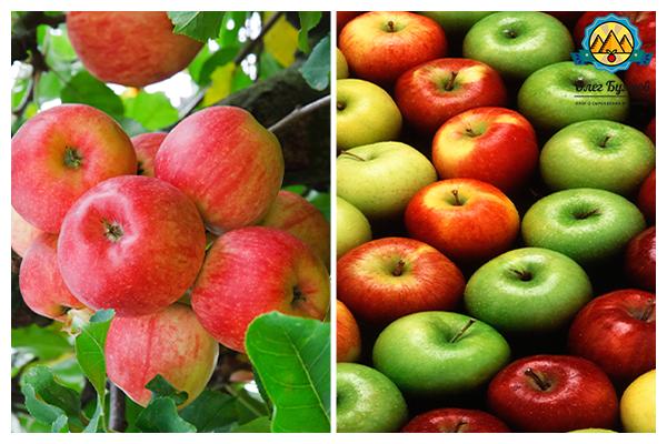 яблочки на дереве