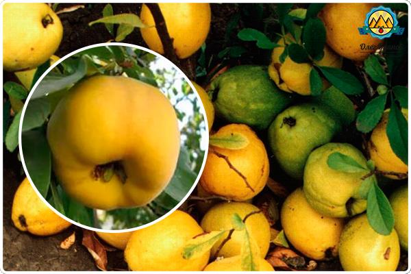 спелые плоды растения