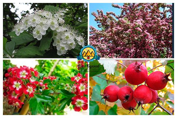 листья и плоды боярышника