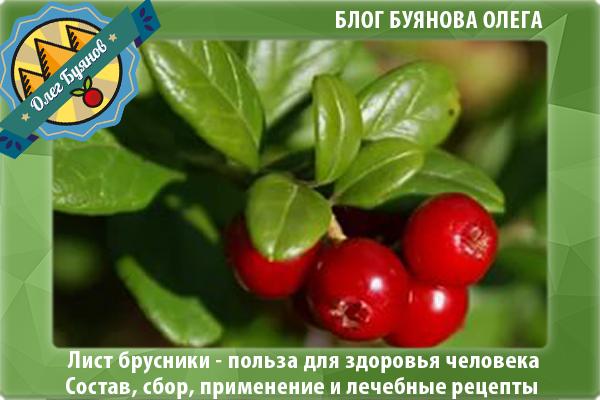 ягода брусника