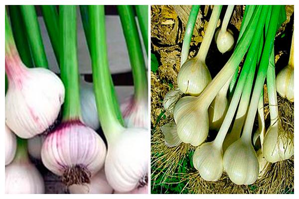 луковица и стебель чеснока