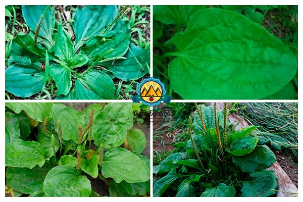 листья и цветки зелёного лекарства
