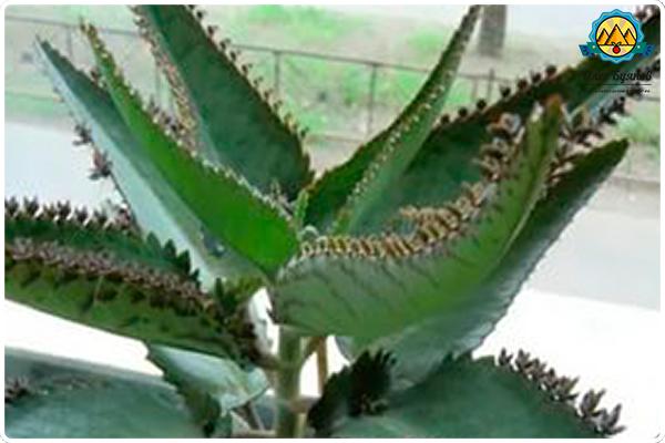 лечебное зелёное растение