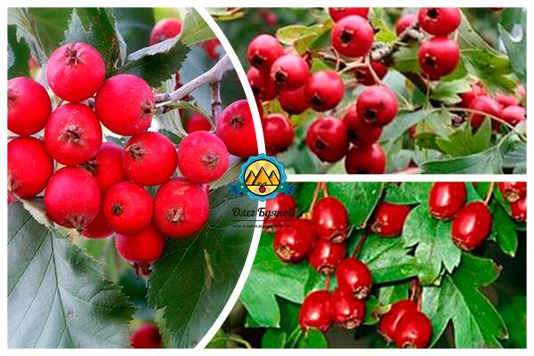 плоды красного боярышника