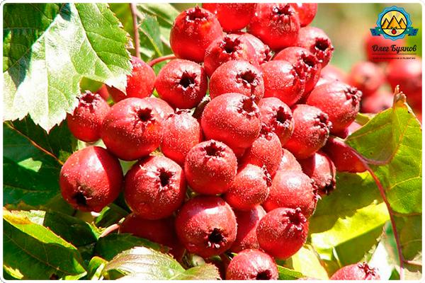 красная лечебная ягода