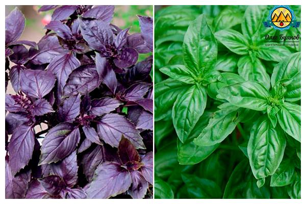 зелёный и фиолетовый базилик