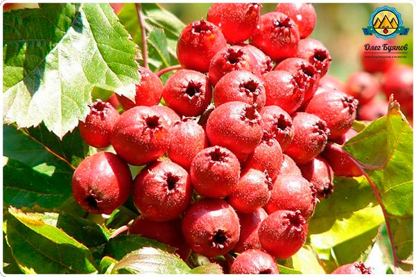 ягоды красного боярышника